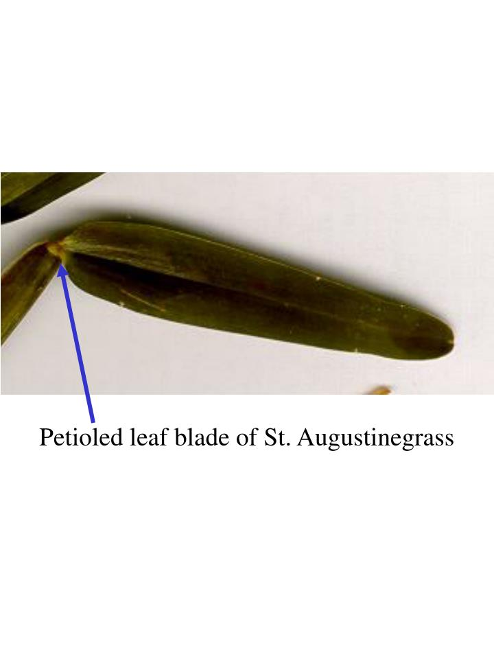 Petioled leaf blade of St. Augustinegrass
