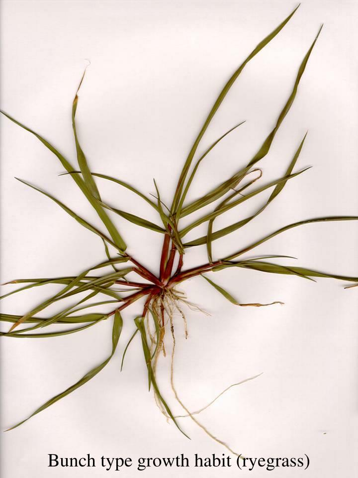 Bunch type growth habit (ryegrass)