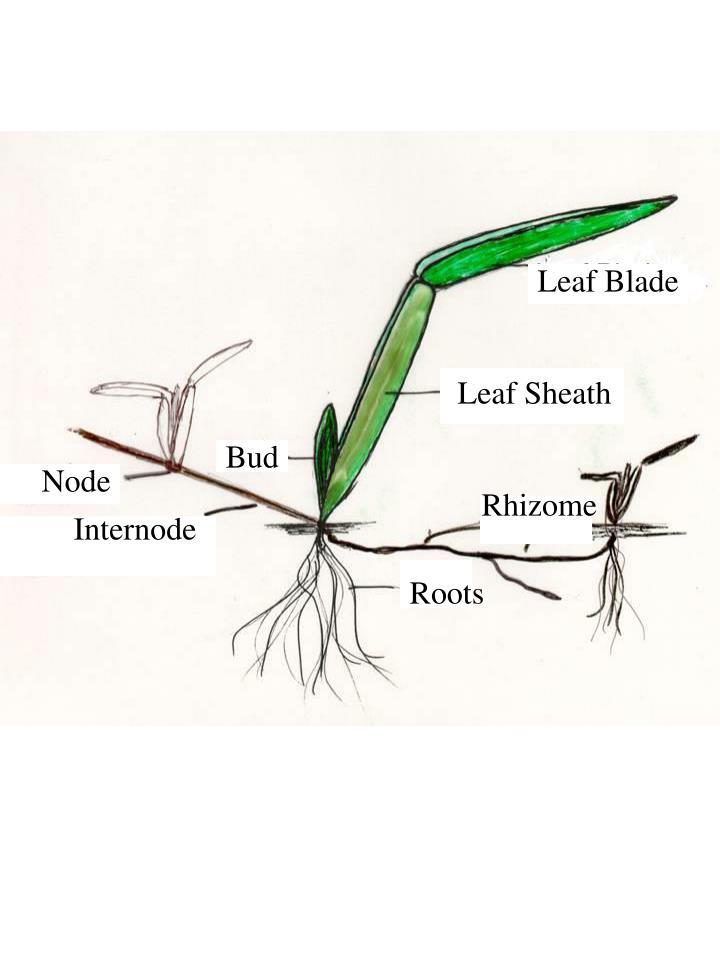 Leaf Blade