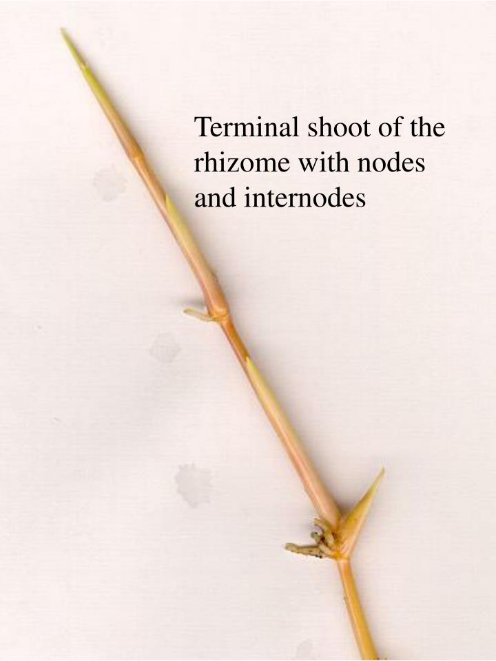 Terminal shoot of the rhizome with nodes and internodes
