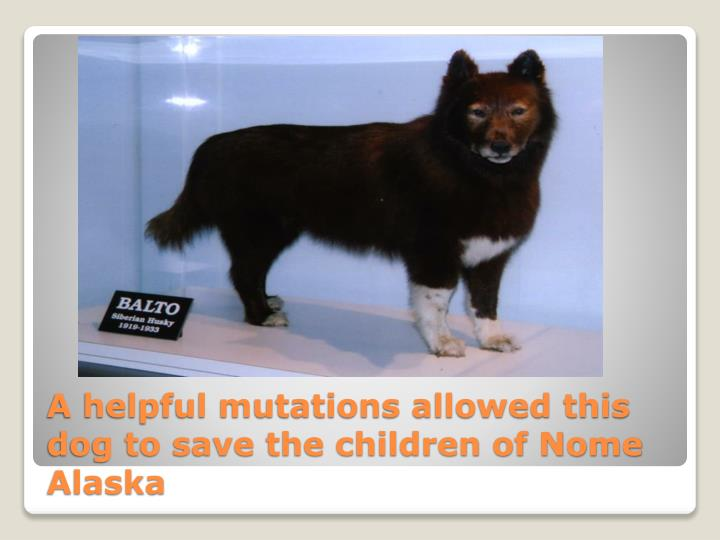 A helpful mutations allowed this dog to save the children of Nome Alaska