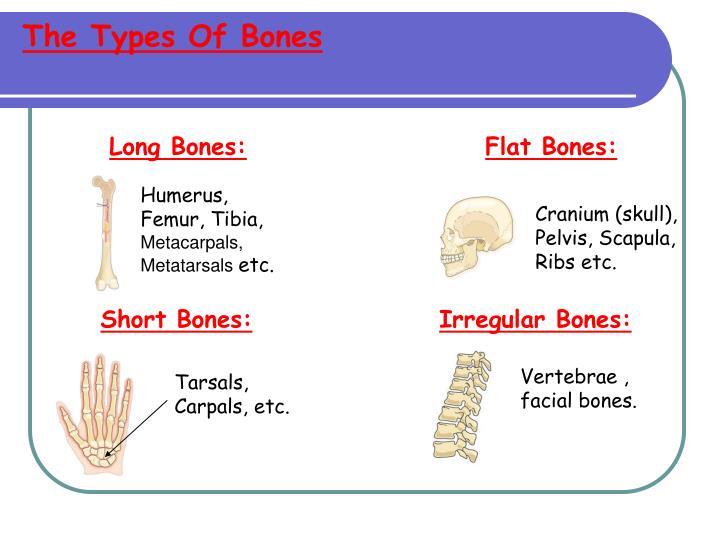 The Types Of Bones
