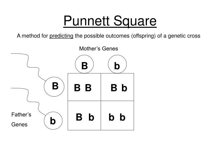 Punnett Square