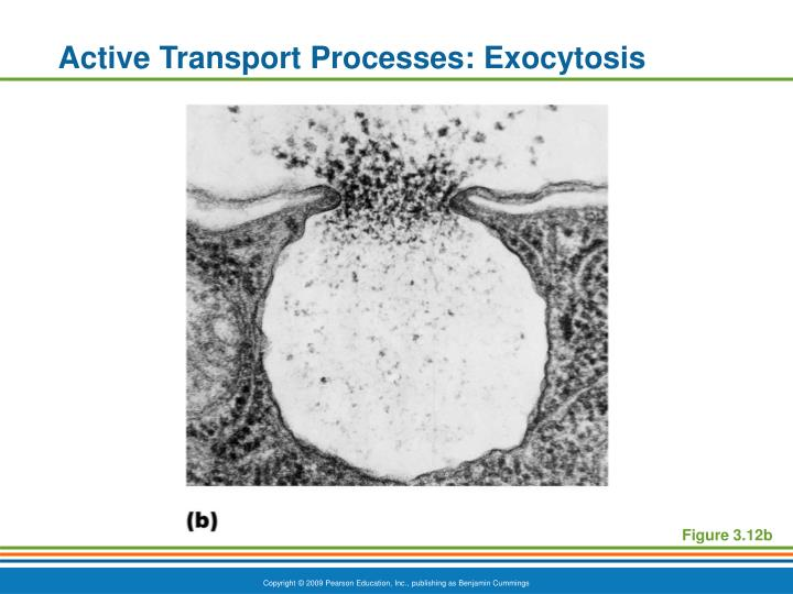Active Transport Processes: Exocytosis