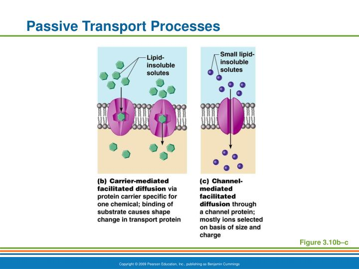 Passive Transport Processes