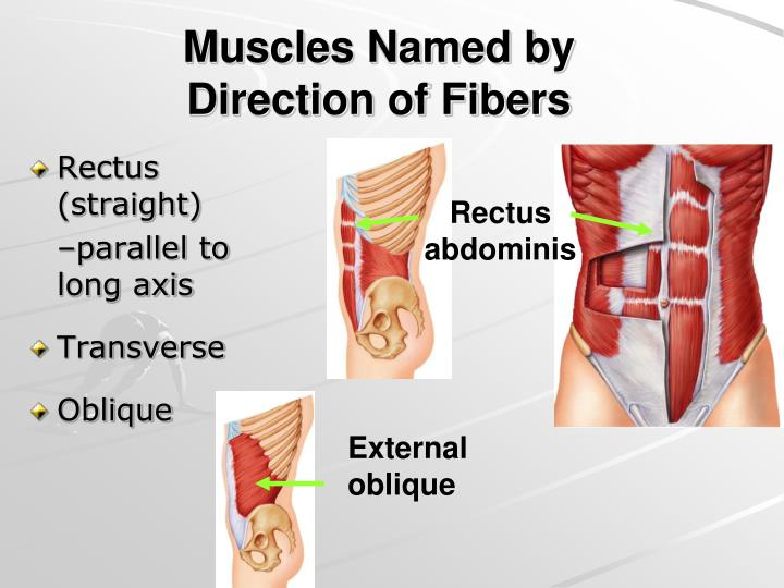 Muscles Named by