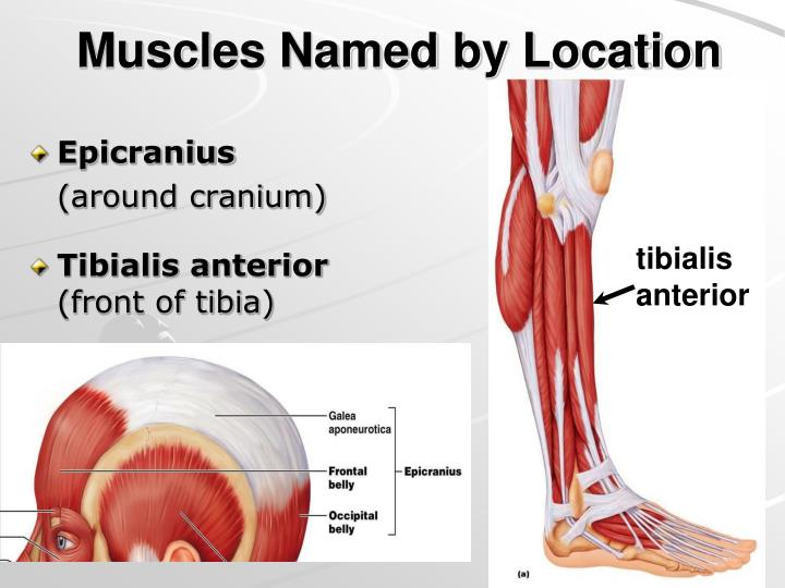 Muscles Named by Location