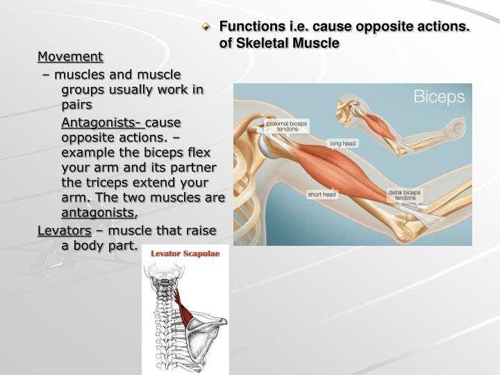 Functions i.e. cause opposite actions. of Skeletal Muscle
