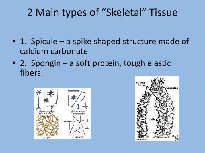 "2 Main types of ""Skeletal"" Tissue"