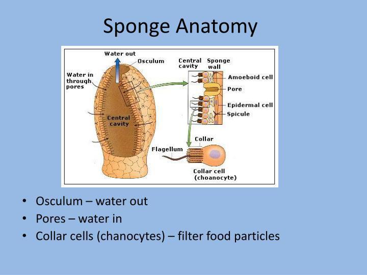 Sponge Anatomy