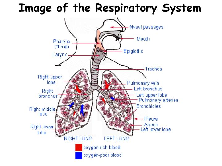 Image of the Respiratory System