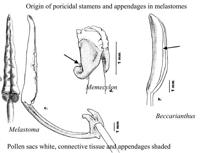Origin of poricidal stamens and appendages in melastomes