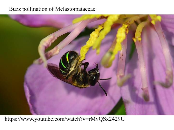 Buzz pollination of Melastomataceae
