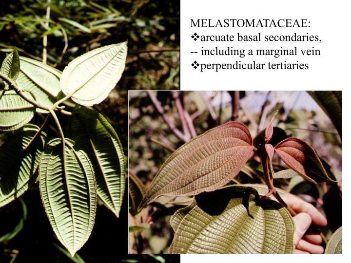 MELASTOMATACEAE: