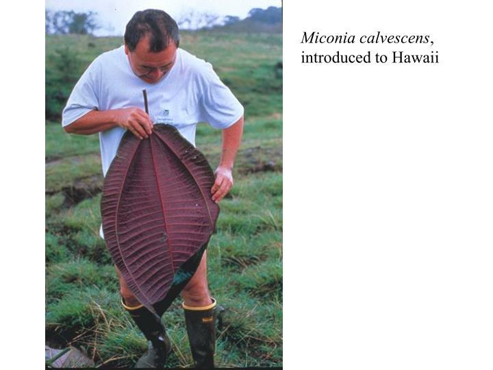 Miconia calvescens