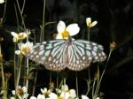 butterfly life continues