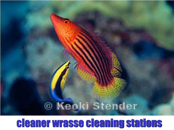 cleaner wrasse cleaning stations