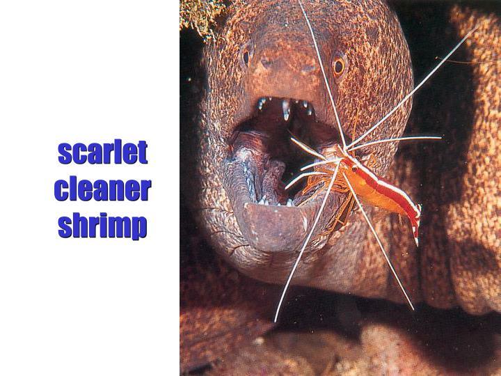 scarlet cleaner shrimp