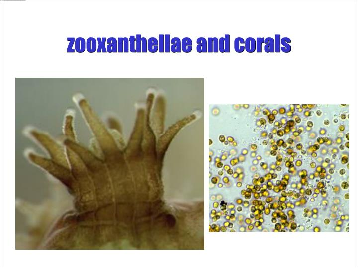 zooxanthellae and corals