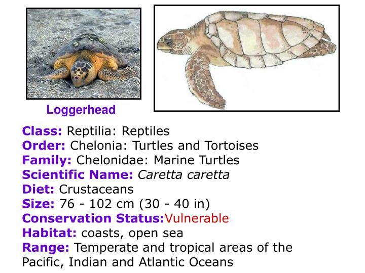Loggerhead
