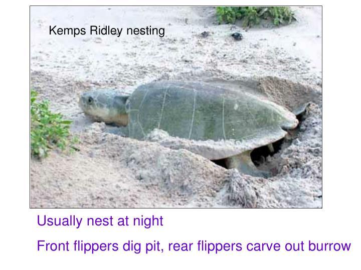 Kemps Ridley nesting