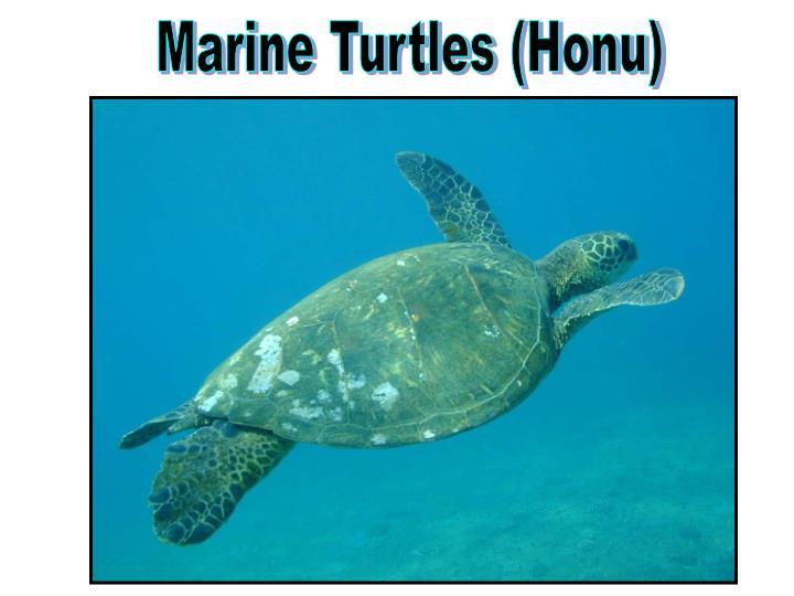 Marine Turtles (Honu)