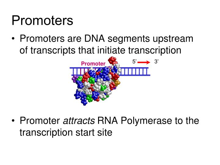 Promoters are DNA segments upstream of transcripts that initiate transcription