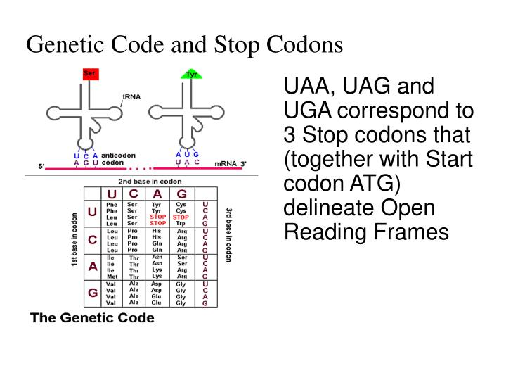 Genetic Code and Stop Codons