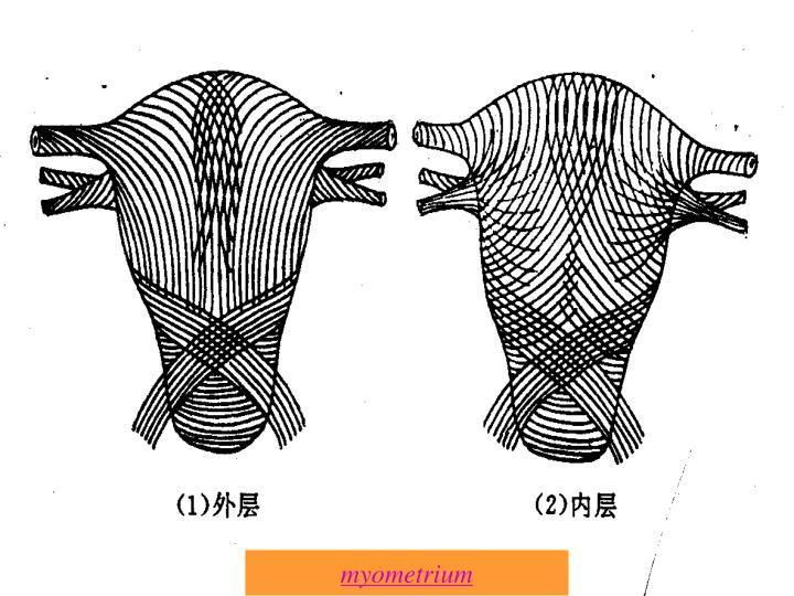 myometrium
