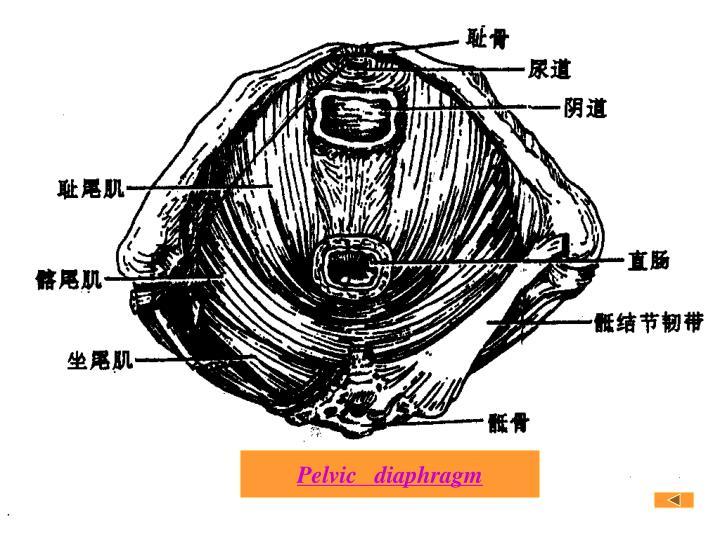 Pelvic   diaphragm