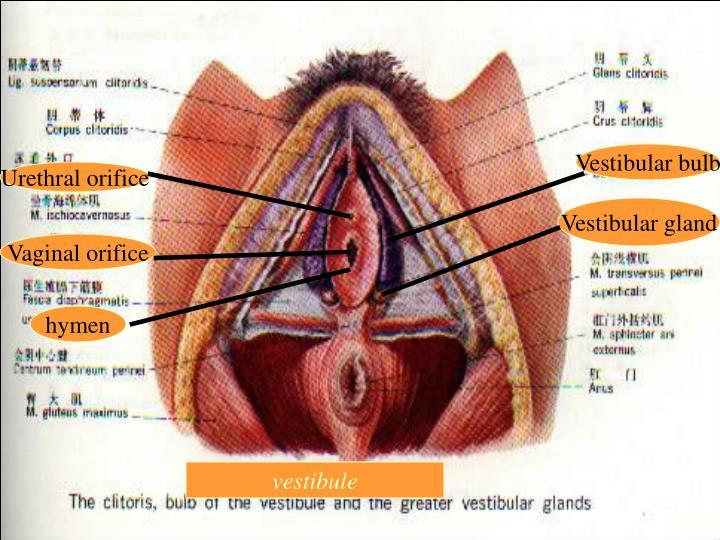 Vestibular bulb