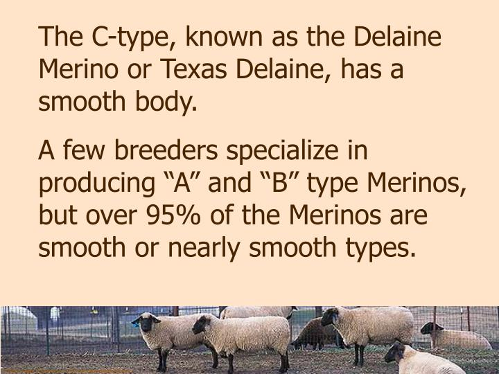 The C-type, known as the Delaine Merino or Texas Delaine, has a smooth body.
