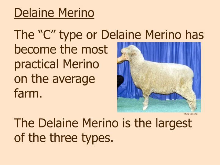 Delaine Merino