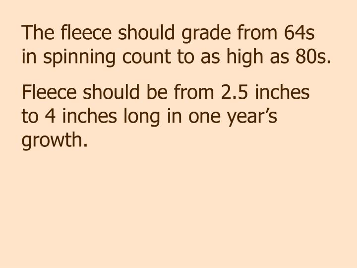 The fleece should grade from 64s in spinning count to as high as 80s.