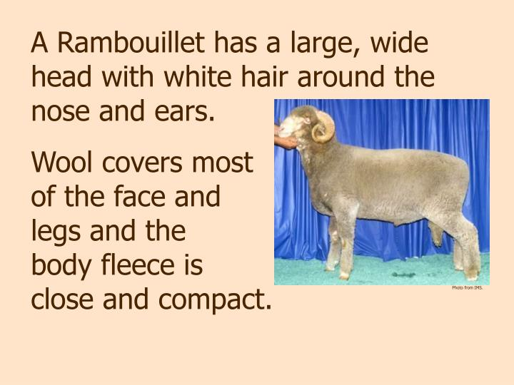 A Rambouillet has a large, wide head with white hair around the nose and ears.