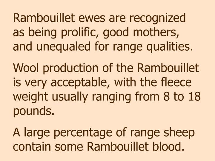 Rambouillet ewes are recognized  as being prolific, good mothers, and unequaled for range qualities.
