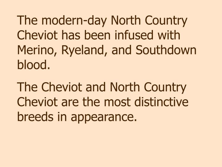 The modern-day North Country Cheviot has been infused with Merino, Ryeland, and Southdown blood.