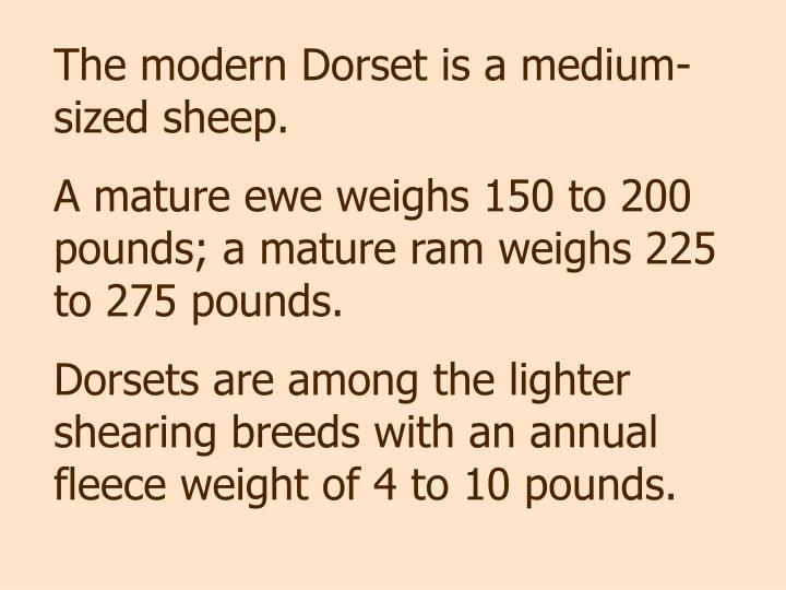 The modern Dorset is a medium-sized sheep.