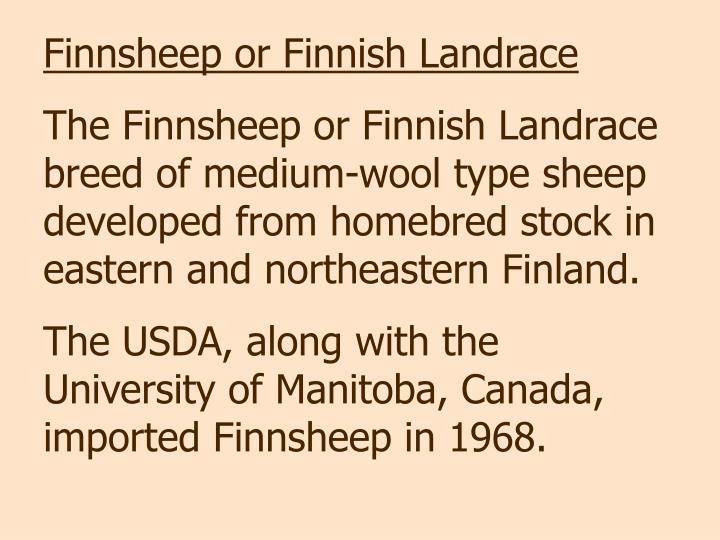 Finnsheep or Finnish Landrace