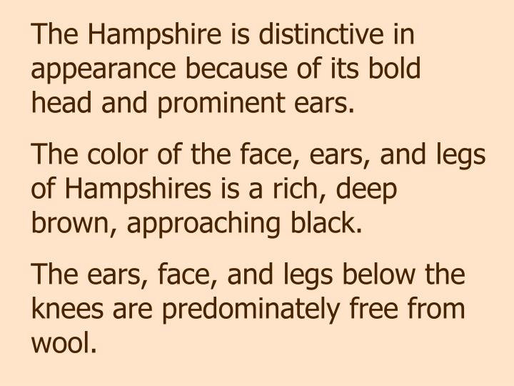 The Hampshire is distinctive in appearance because of its bold head and prominent ears.