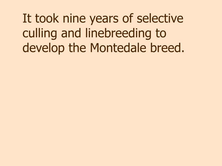 It took nine years of selective culling and linebreeding to develop the Montedale breed.