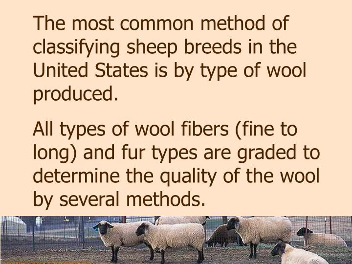 The most common method of classifying sheep breeds in the United States is by type of wool produced.