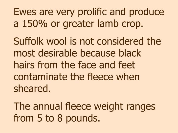 Ewes are very prolific and produce a 150% or greater lamb crop.