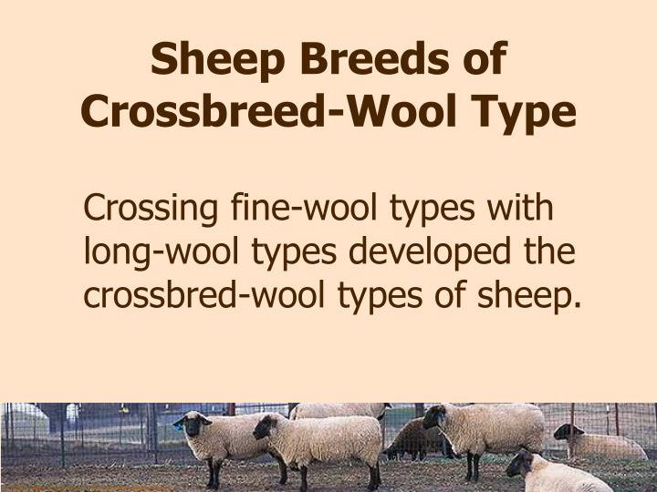 Sheep Breeds of Crossbreed-Wool Type