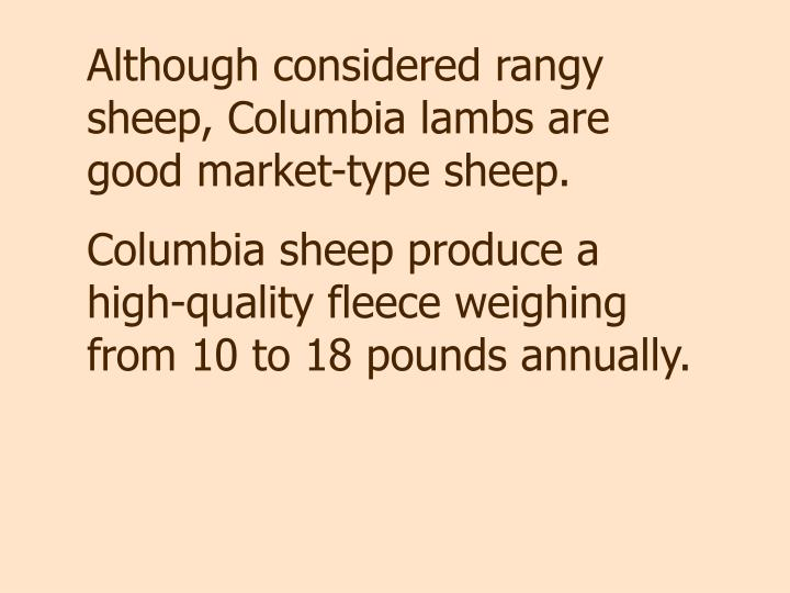 Although considered rangy sheep, Columbia lambs are good market-type sheep.