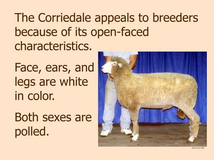The Corriedale appeals to breeders because of its open-faced characteristics.