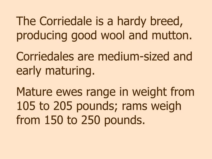 The Corriedale is a hardy breed, producing good wool and mutton.