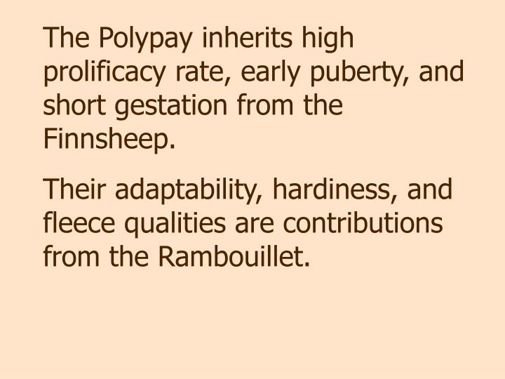 The Polypay inherits high prolificacy rate, early puberty, and short gestation from the Finnsheep.