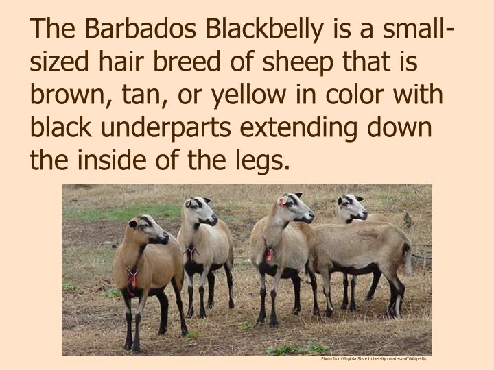 The Barbados Blackbelly is a small-sized hair breed of sheep that is brown, tan, or yellow in color with black underparts extending down the inside of the legs.