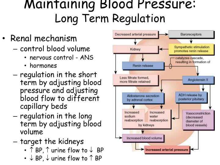 PPT - Use the video clip: CH 19 - Anatomy of the Blood ...